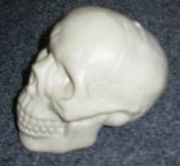 Small skull side view